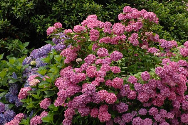 安養寺の紫陽花15