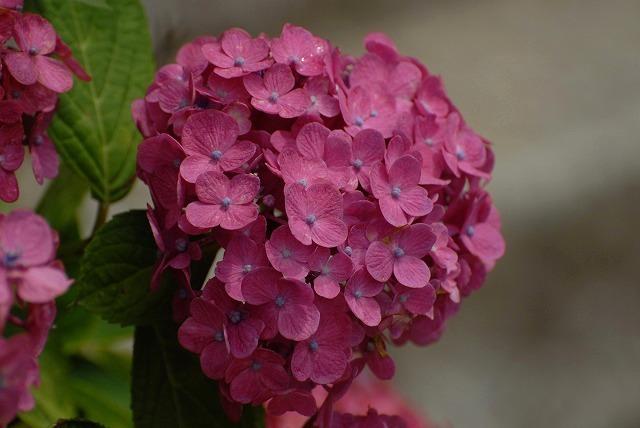 安養寺の紫陽花16