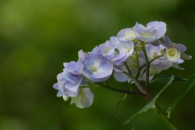 安養寺の紫陽花17