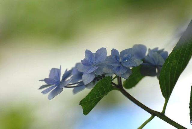 安養寺の紫陽花18