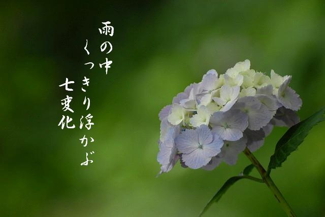 安養寺の紫陽花22