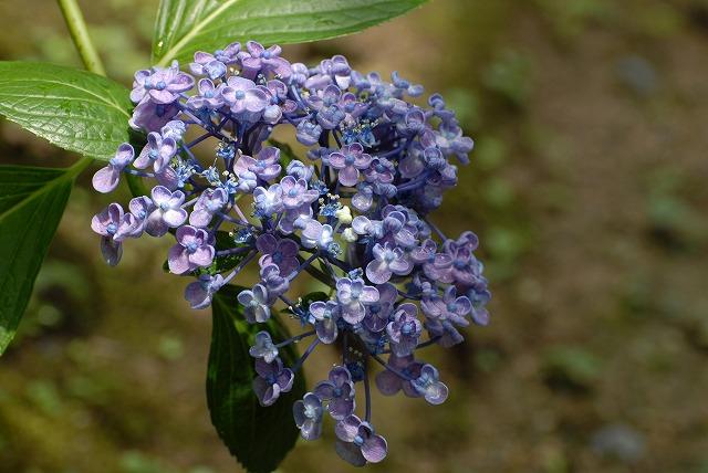 安養寺の紫陽花23