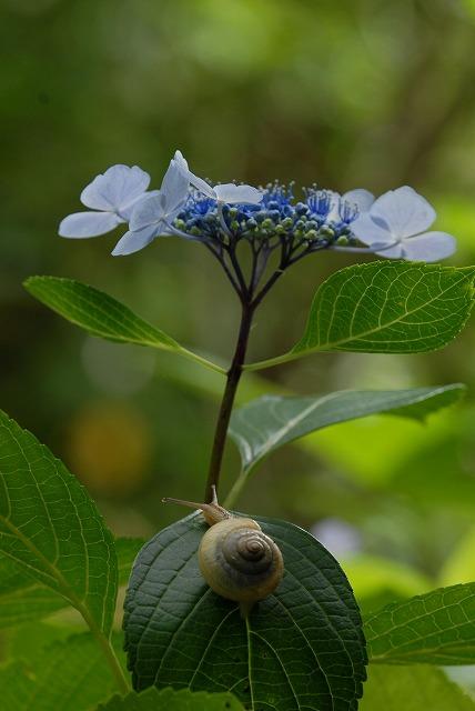 安養寺の紫陽花24