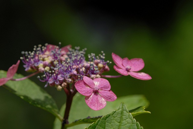 安養寺の紫陽花26