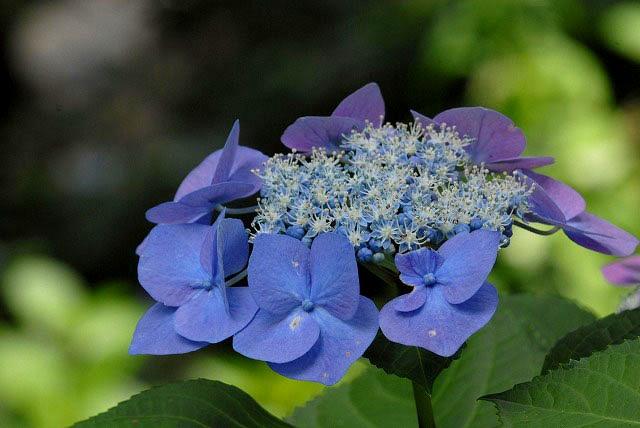安養寺の紫陽花27