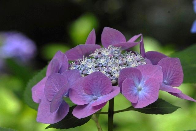 安養寺の紫陽花28