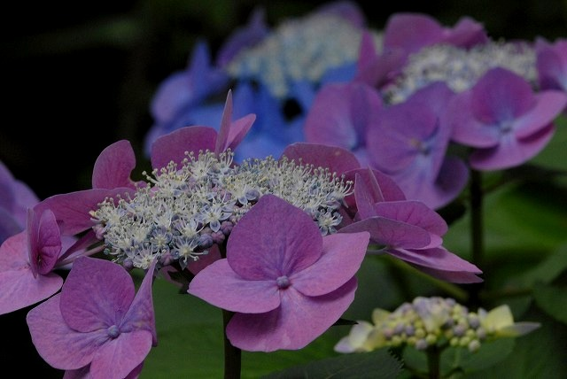 安養寺の紫陽花29