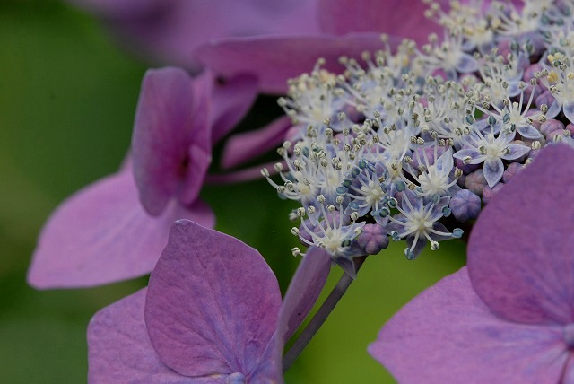 安養寺の紫陽花30