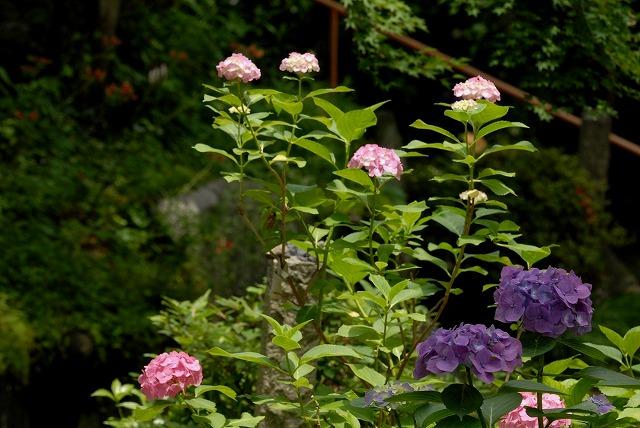 安養寺の紫陽花32