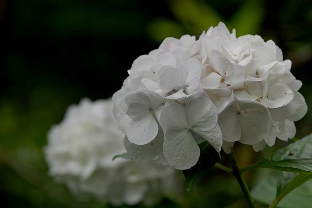 安養寺の紫陽花33