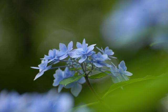 安養寺の紫陽花36