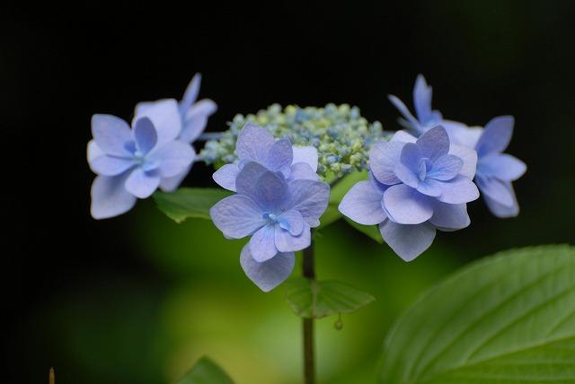 安養寺の紫陽花37