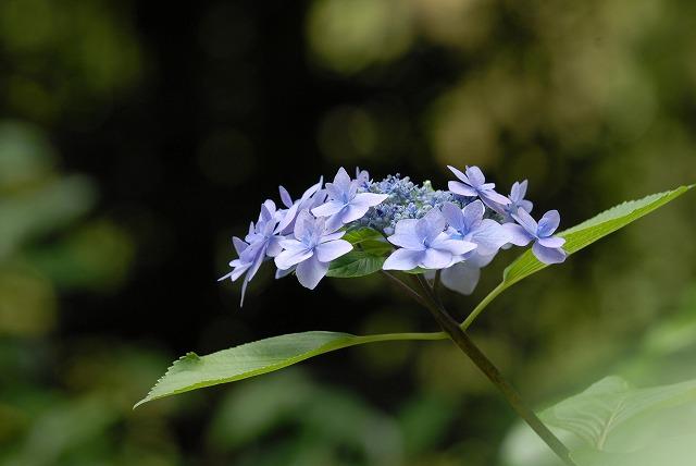 安養寺の紫陽花38