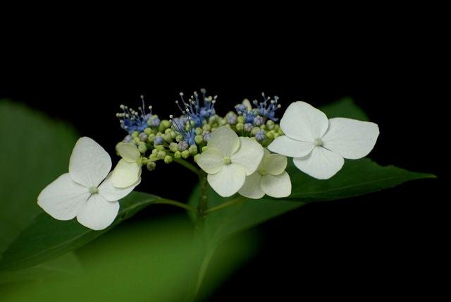 安養寺の紫陽花39