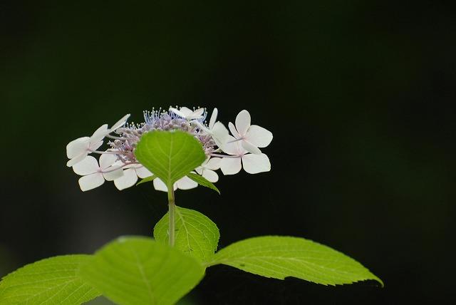 安養寺の紫陽花40