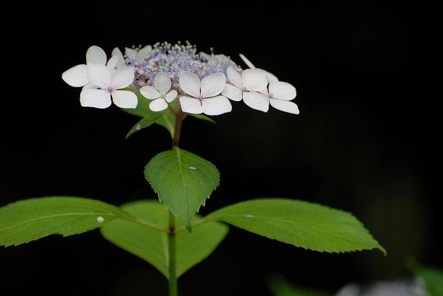 安養寺の紫陽花41