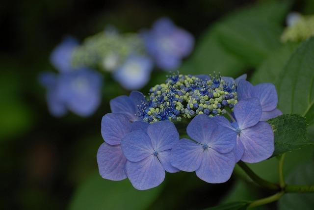安養寺の紫陽花42