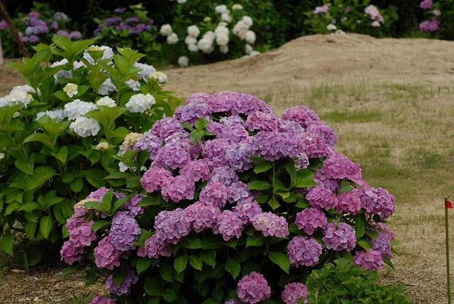 安養寺の紫陽花46