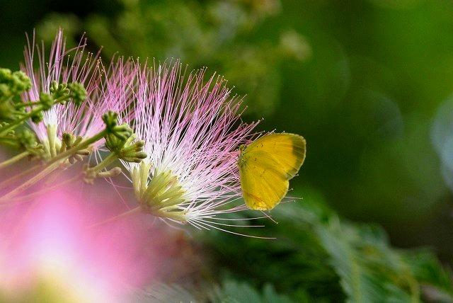 合歓の花 3