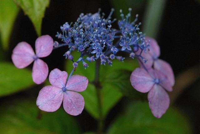 山紫陽花3