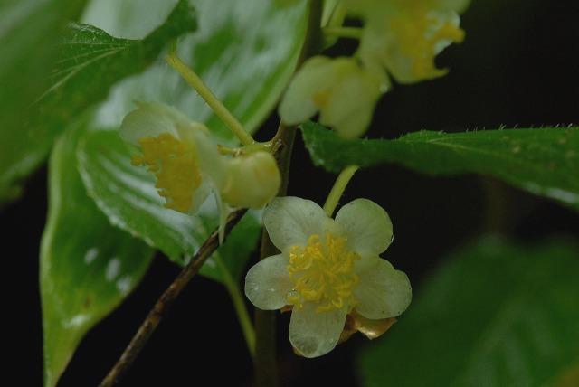 マタタビの花2