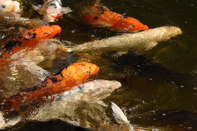 鯉ヶ窪の元気な鯉