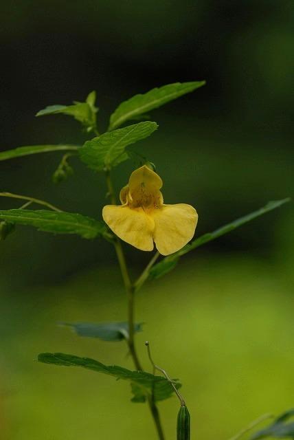 黄ツリフネ2