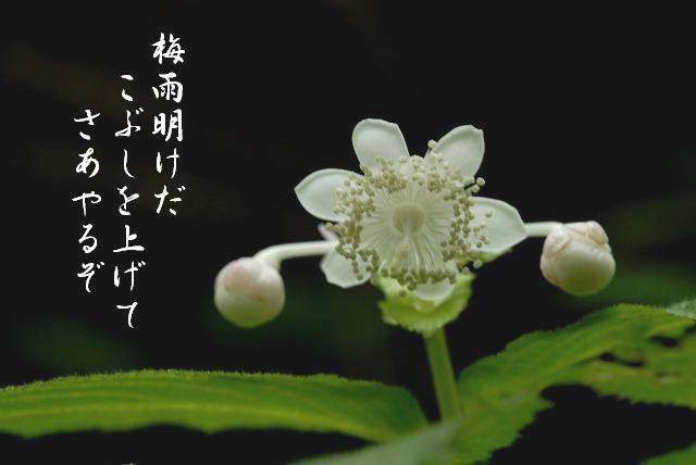 ギンバイ草3-1
