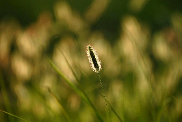 キンエノコロ草2
