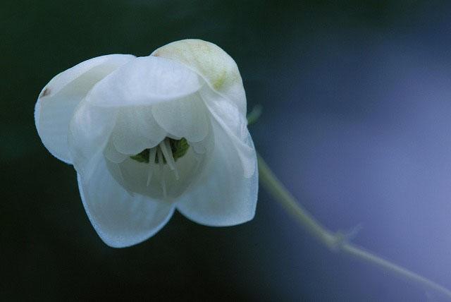 白い蓮華升麻1-3