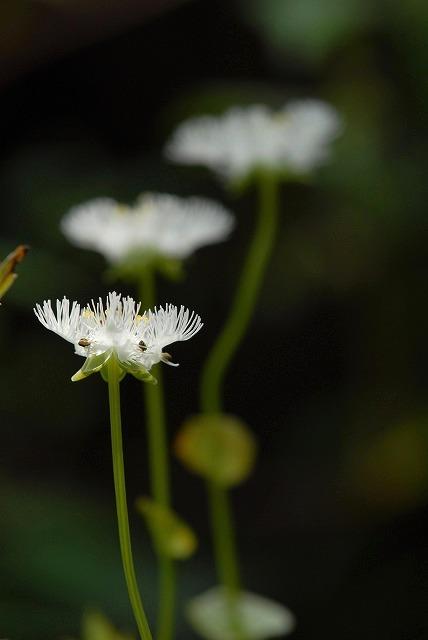 シラヒゲ草7