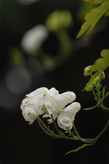 白いトリカブト7