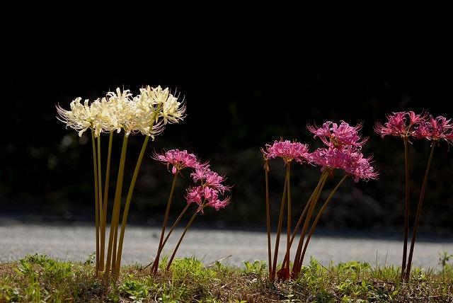 白い彼岸花とリコリス