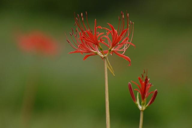 赤い彼岸花3