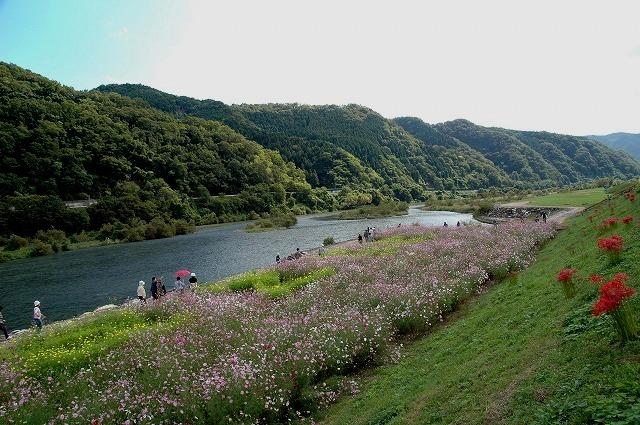 吉井町のコスモス1