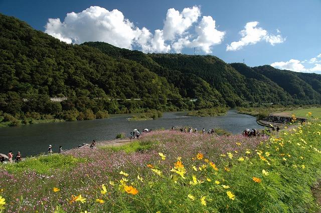 吉井町のコスモス5