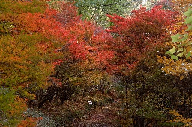ドウダンツツジの紅葉1