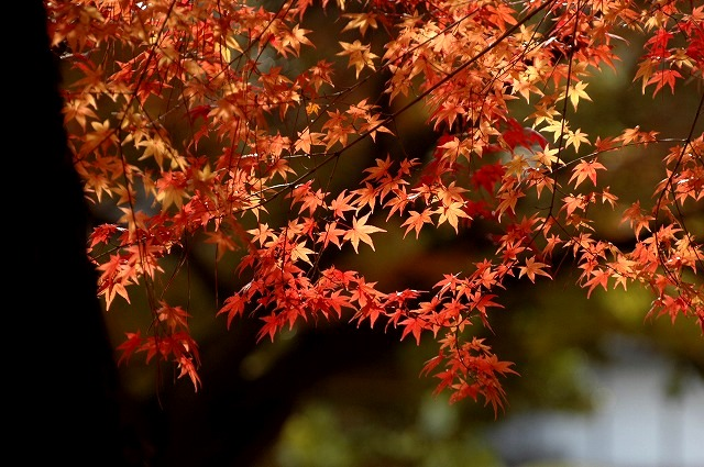 後楽園の紅葉40