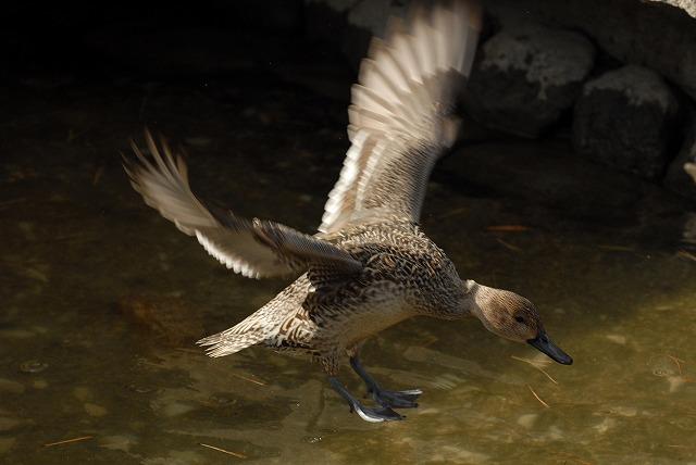 鴨のジャンプ1