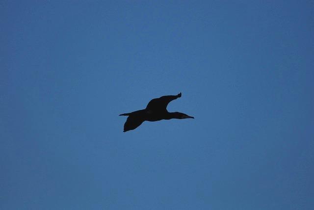 鵜の飛翔1