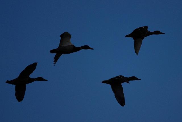 カルガモの飛翔1
