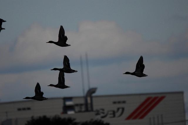 カルガモの飛翔2