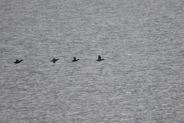 鴨の飛翔3