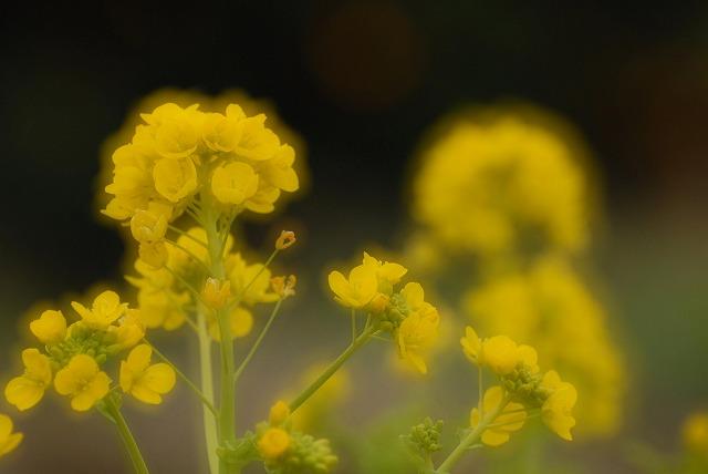 菜の花10