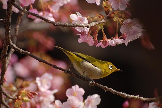 河津桜とメジロ1