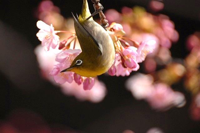河津桜とメジロ4