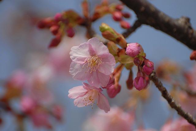妙林寺の河津桜6