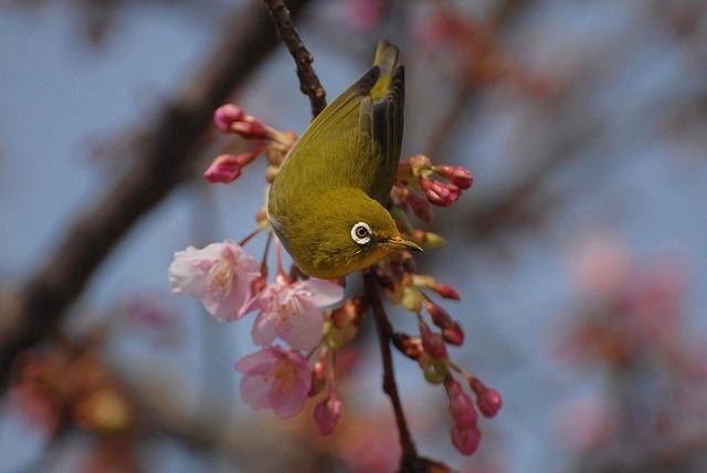 河津桜とメジロ6