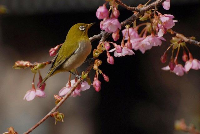 河津桜とメジロ7