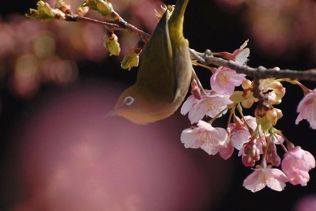 河津桜とメジロ4-2